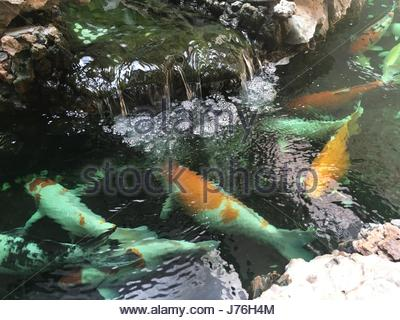 A lucky gold koi carp underwater stock photo royalty free for Artificial koi fish