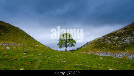 Sycamore Gap (Robin Hood's Tree), this part of the Wall was made famous from it's use in 'Robin Hood Prince of Thieves' - Stock Photo