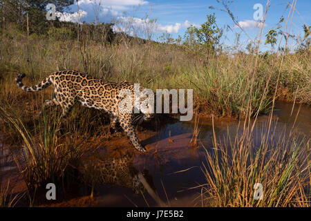 A Jaguar explores a water creek in the Brazilian Cerrado - Stock Photo