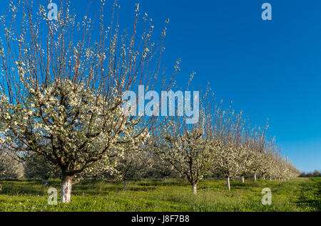 Orchard - Blue plum orchard in full bloom - Stock Photo
