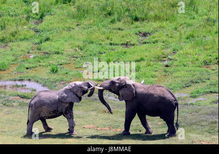 African Elephants playing in Amboseli national park in Kenya. - Stock Photo