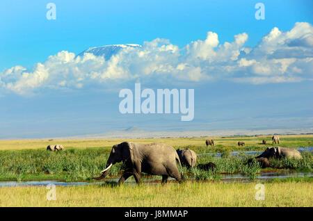 A herd of African elephants roaming the savanna below Mount Kilimanjaro in Amboseli national park in Kenya. - Stock Photo