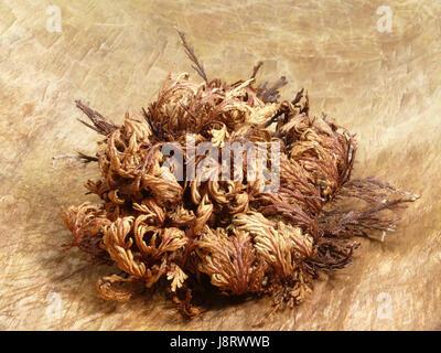 echte rose von jericho anastatica hierochuntica wuestenrose stock photo 86227664 alamy. Black Bedroom Furniture Sets. Home Design Ideas