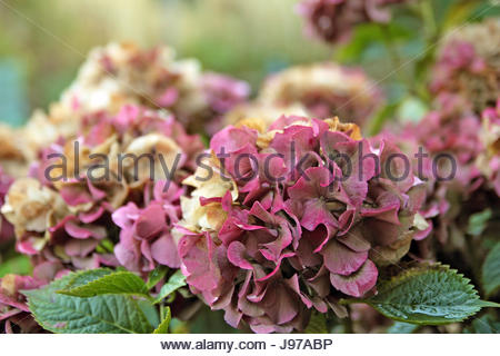 Hydrangea flowers in autumn, shallow depth of field. - Stock Photo