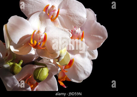 macro, close-up, macro admission, close up view, buds, flower, orchid, plant, - Stock Photo