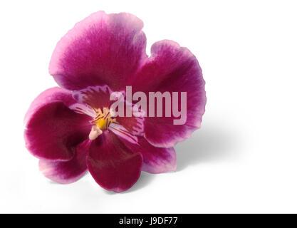 optional, flower, plant, bloom, blossom, flourish, flourishing, orchid, - Stock Photo