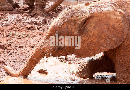 Baby elephant playing in the mud - Stock Photo