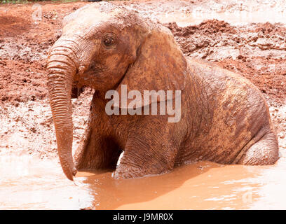Young elephant sitting in muddy water - Stock Photo