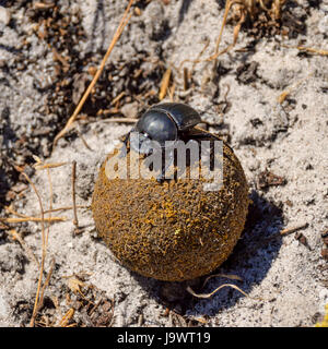 A Green Grooved Dung Beetle on a dungball in Southern Africa - Stock Photo