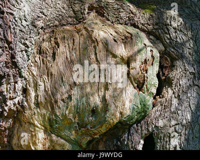 Close-up of a section of the Major Oak tree trunk in Sherwood forest showing a scar where a branch has fallen off. - Stock Photo