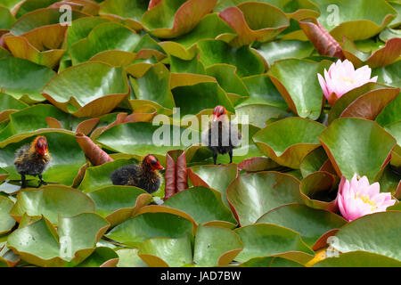 chick-chick on the water lily - Stock Photo