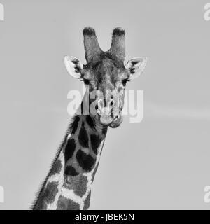 Closeup facial portrait of a Giraffe in Southern African savanna - Stock Photo