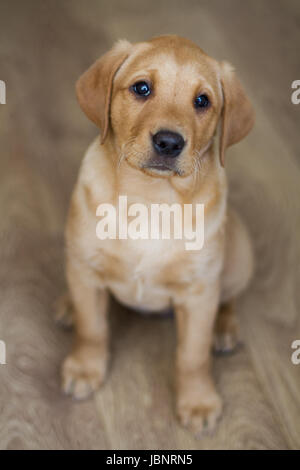 Most Inspiring Indoor Chubby Adorable Dog - a-cute-yellow-labrador-retriever-puppy-sitting-obediently-indoors-and-looking-straight-at-the-camera-in-a-dog-portrait-image-jbnrn5  Pic_12977  .jpg