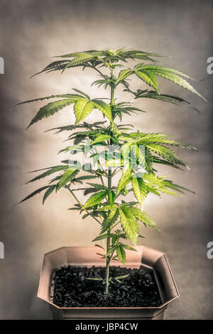 Cannabis female plant in flowerpot, Indica dominant hybrid in early flowering stage. - Stock Photo