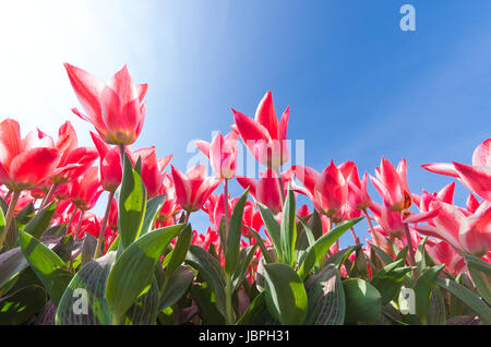 low angle view of a field with beautiful pink tulips - Stock Photo
