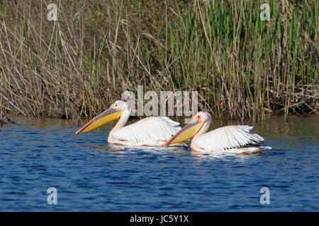 great white pelican (Pelecanus onocrotalus) flock of adults swimming on  river Danube, Romania - Stock Photo
