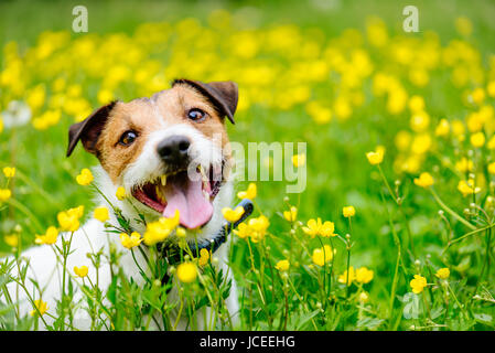 Happy dog sitting at  field of buttercups flowers looking at camera - Stock Photo