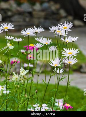 English Daisy or 'Lawn Daisy', Bellis perennis, in Banff National Park, Alberta, Canada. - Stock Photo