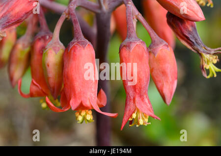 Brachychiton Acerifolius, its flowers are very cute, because they have the bright red bell-shaped flowers. - Stock Photo