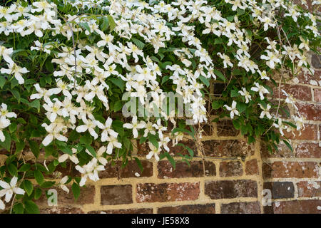 clematis montana white flowers on climbing plant stock. Black Bedroom Furniture Sets. Home Design Ideas