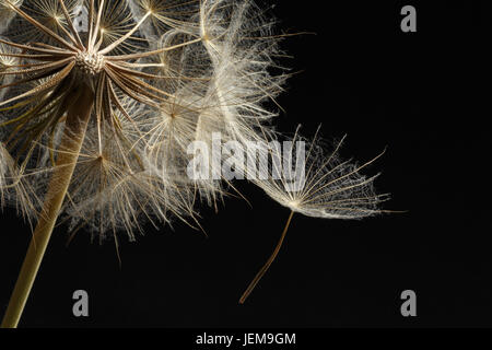 Extreme close up and abstraction with very shallow dept of field of dandelion seeds in black background, - Stock Photo
