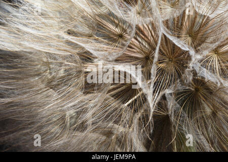 extreme close up of dandelion seeds - Stock Photo