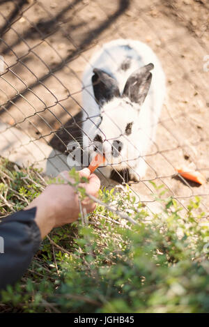 A young man's hand feeds a white bunny with carrots through a fence in a zoo - Stock Photo