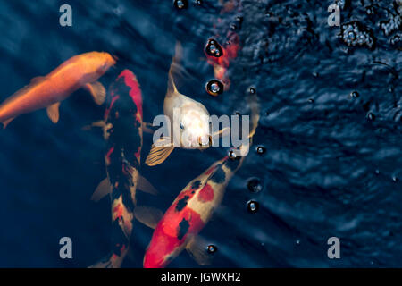 Orange black and white japanese koi carp coming up to the for Pool koi aquatics ltd