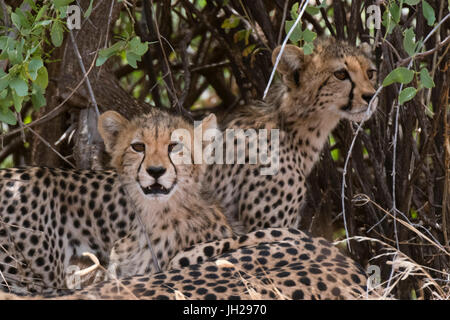 Cheetah (Acinonyx jubatus), Samburu National Reserve, Kenya, East Africa, Africa - Stock Photo