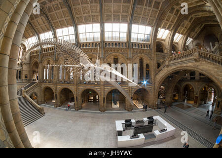 Natural History Museum , London, UK. 13th July, 2017. The Natural History Museum unveils the new star of its reimagined - Stock Photo