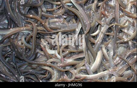 Rade, Germany. 14th July, 2017. Uncountable young eels can be seen in a bucket at the Kiel Canal in Rade, Germany, - Stock Photo