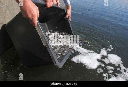 Rade, Germany. 14th July, 2017. Recreational fishermen set free more than 14.000 young eels in the Kiel Canal in - Stock Photo