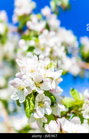 Macro closeup of white and pink apple blossoms growing on tree with vibrant blue sky - Stock Photo