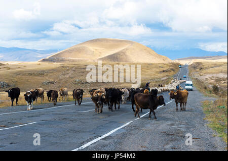 Shephard conducting a group of cows and sheep down a road, Tavush Province, Armenia - Stock Photo