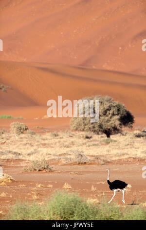 Ostrich walking in the desert - Namib Naukluft Namibia - Stock Photo