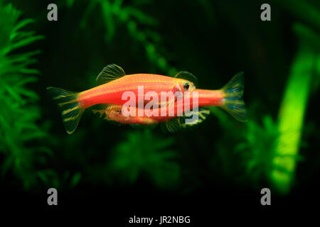glofish genetically modified organisms Top 10 bizarre genetically modified organisms jamie frater april 1, 2008 the glofish was the first genetically modified animal to.
