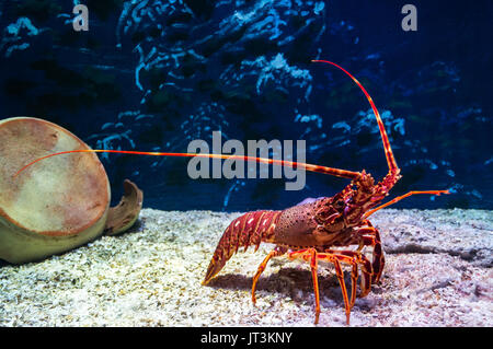 Red lobster in an aquarium viewed through the glass - Stock Photo