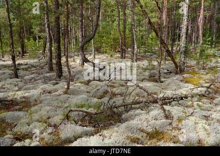 Kihnu Island Pine Forest. Estonia. 5th August 2017 - Stock Photo