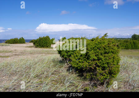 Kihnu junipers. Islland Kihnu. Estonia, Baltic States, 5th August 2017 - Stock Photo