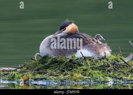 4-day old Great Crested Grebe (Podiceps cristatus) chick resting on its mother's back while she incubates the remaining - Stock Photo