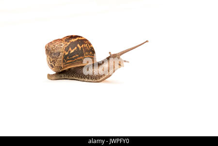 snail on a white background - Stock Photo