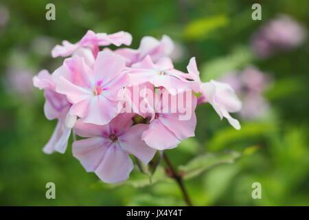 phlox paniculata 39 rosa pastell 39 stock photo royalty free. Black Bedroom Furniture Sets. Home Design Ideas