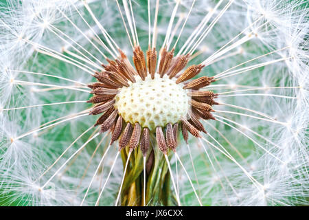 Dandelion seed head. Abstract dandelion flower background, extreme closeup (Macro) with soft focus, beautiful nature - Stock Photo