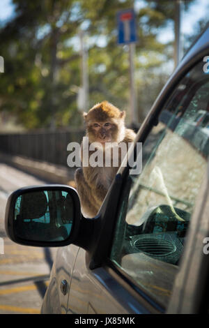 A Barbary macaque sits on a car in Gibraltar. - Stock Photo