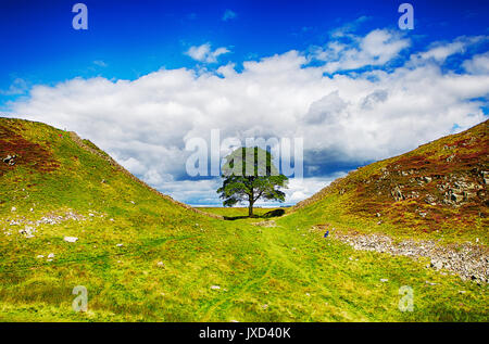Sycamore Gap, located on Hadrians Wall, Northumberland, North England - Stock Photo