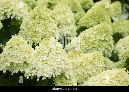 Hydrangea paniculata 'Limelight' displaying clusters of showy cream and lime flowers in an English garden in summer - Stock Photo
