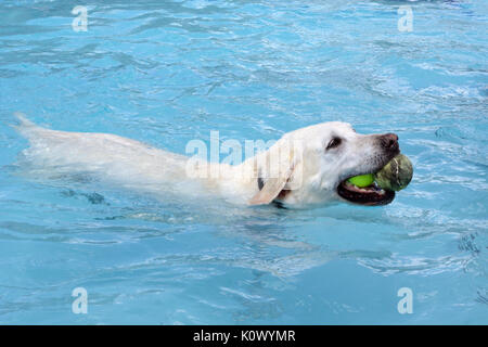 Wet Mixed Breed Golden Retriever Poodle Cross On Pebble Beach Herne Stock Photo Royalty Free