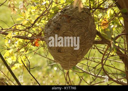 Large wasp nest Stock Photo, Royalty Free Image: 52814951 ...