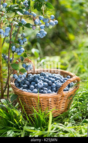 Ripe Bilberries in wicker basket. Green grass and blueberry bush. Vertical composition. Gardening and harvestig - Stock Photo