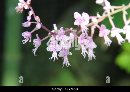 Tiny, white orchids with purple spots, growing in the Shinjuku Gyoen National Garden greenhouse, Tokyo, Japan - Stock Photo